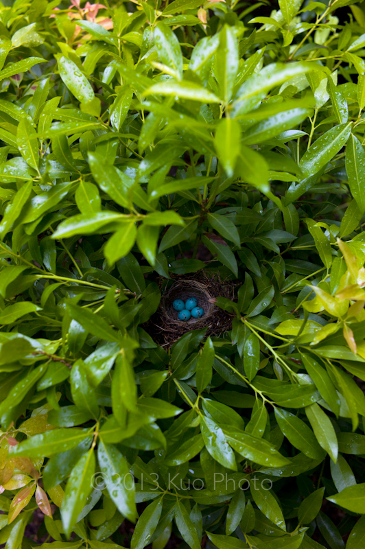 A robin creates a space for her eggs to incubate–– amidst a sea of Andromeda plant leaves.