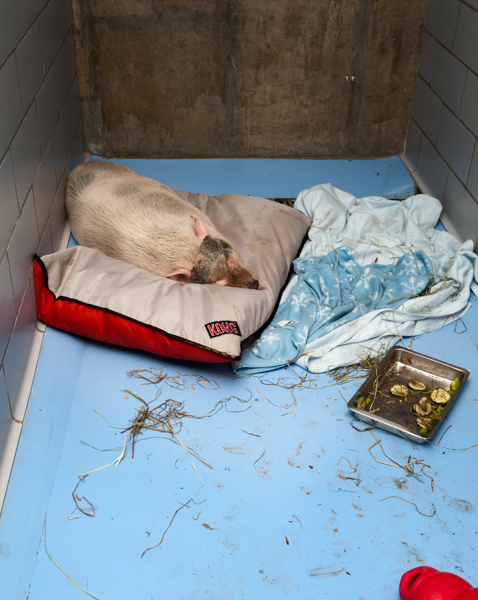 This pig, once someones pet, ends up at a shelter.