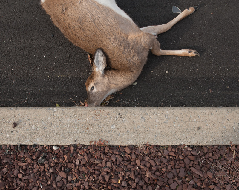 "One of 3 deer found at the scene. Mating season, or ""the Rut,"" occurs in autumn, when buck are in high pursuit of a doe."